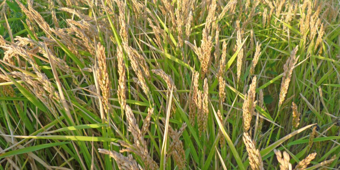 Селекционеры вывели сорт риса, способный расти в волгоградских степях (Дмитрий Донбас)