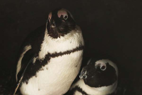 В мире животных: в голландском зоопарке пингвины-геи украли гнездо у пингвинов-лесбиянок (Tinkle Bell)